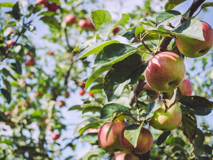 Äpfel an einem Zweig in Busendorf (Beelitz, Brandenburg)