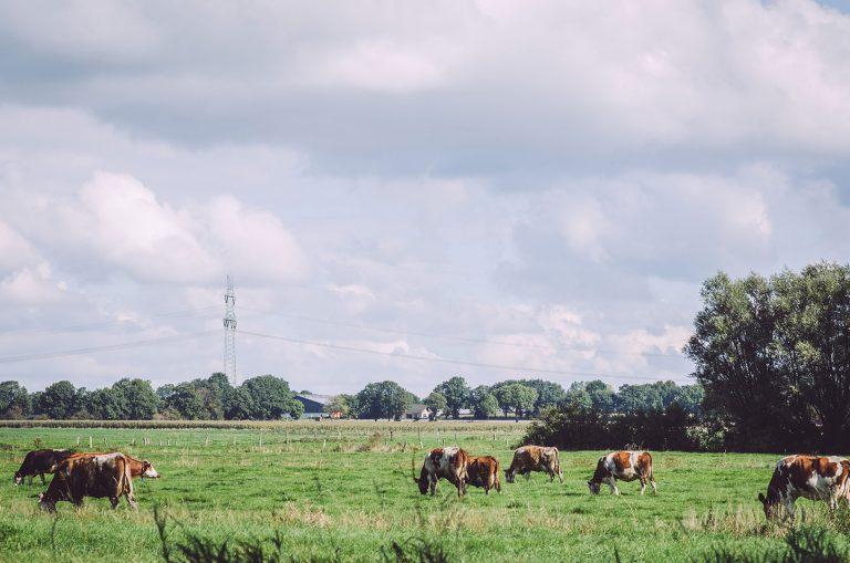 Kühe auf einer Weide in Grönland (Sommerland, Schleswig-Holstein)
