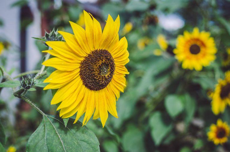 Sonnenblume in Bremen (Hohentengen, Baden-Württemberg)