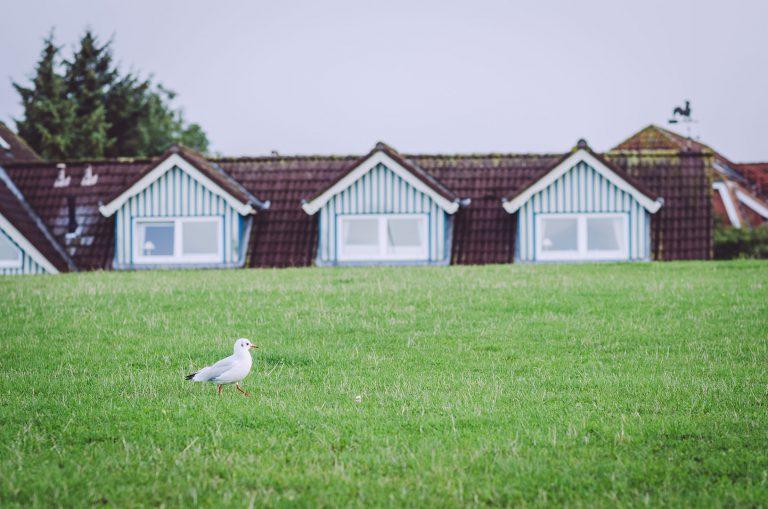 Möwe auf dem Gras vor Häusern in Kalifornien (Schönberg, Schleswig-Holstein)