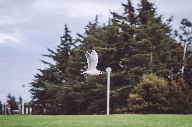 Fliegende Möwe vor Bäumen in Kalifornien (Schönberg, Schleswig-Holstein)