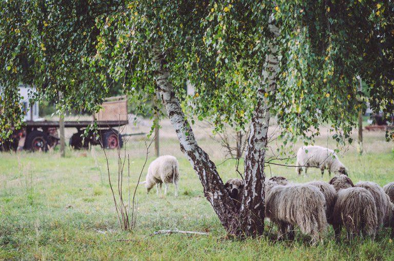 Schafe in Kotzen (Havelland, Brandenburg)