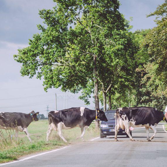 Kühe gehen mit Bauern über die Straße in Nordpol (Wiefelstede, Niedersachsen)