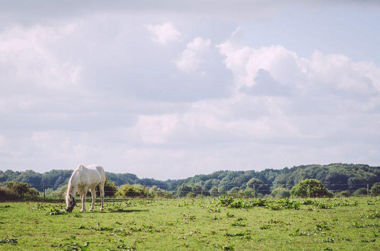 Weißes Pferd auf einer Weide in Norwegen (Mohrkirch, Schleswig-Holstein)