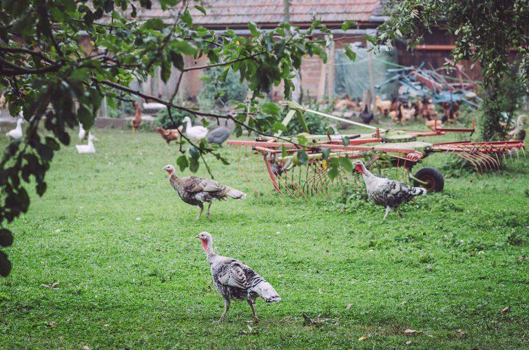 Truthahn, Hühner und Gänse in Poppendorf (Schkölen, Thüringen)