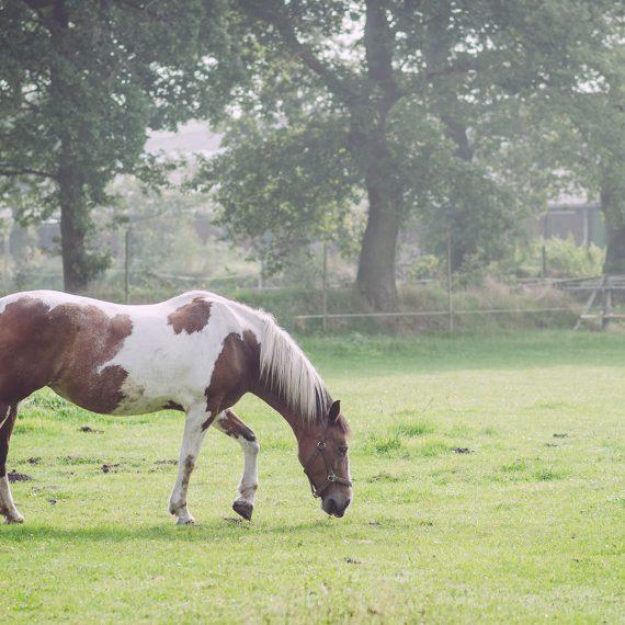 Pferd auf einer Weide in Rußland (Friedeburg, Niedersachsen)
