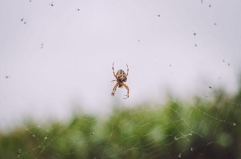 Spinne im Netz in Texas (Groß Oesingen, Niedersachsen)