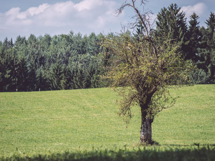 Baum auf einer weiten Wiese in Bremen (Amtzell, Baden-Württemberg)