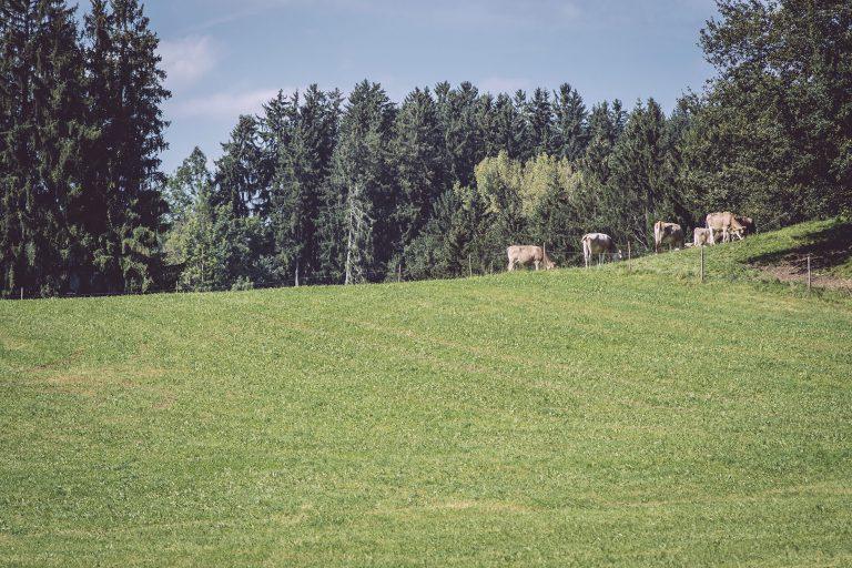 Wiese und im Hintergrund Kühe in Bremen (Amtzell, Baden-Württemberg)
