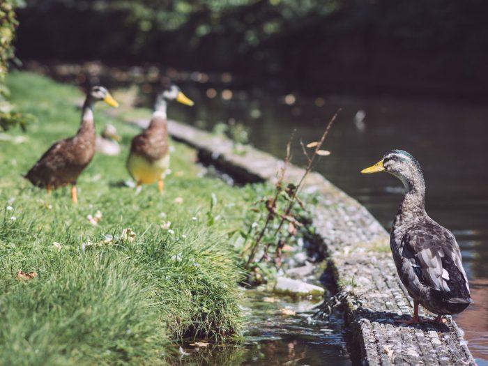 Enten am Fluss in Bremen (Ense, Nordrhein-Westfalen)