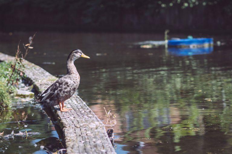 Eine Ente am Ufer in Bremen (Ense, Nordrhein-Westfalen)