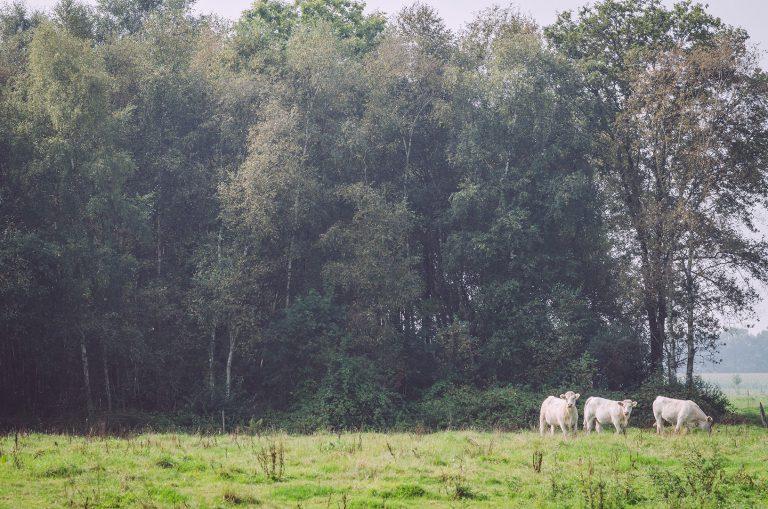 Kuhweide in Amerika (Friedeburg, Niedersachsen)