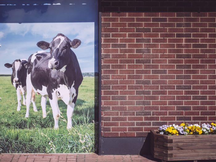 Kühe in Köhlen (Geestland, Niedersachsen)