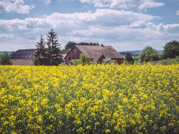 Rapsfeld in Asel (Harsum, Niedersachsen)