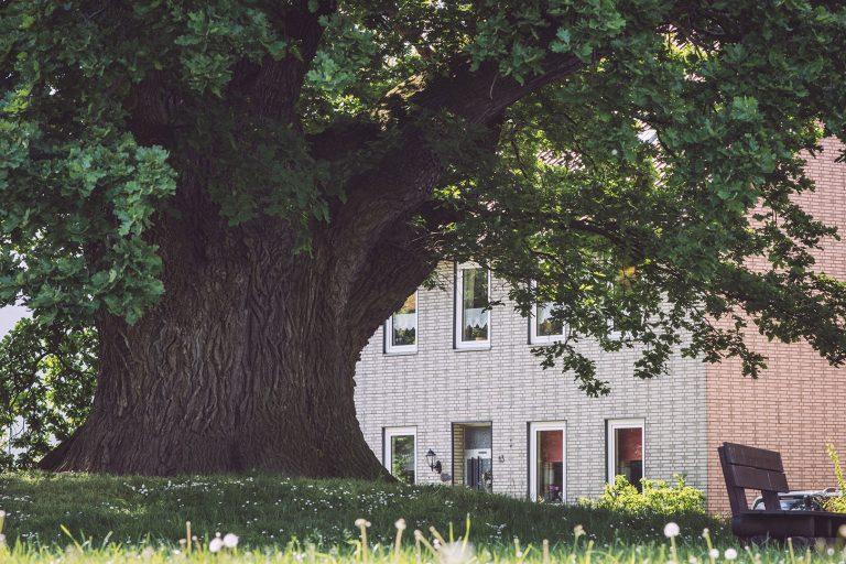 Eiche in Asel (Harsum, Niedersachsen)