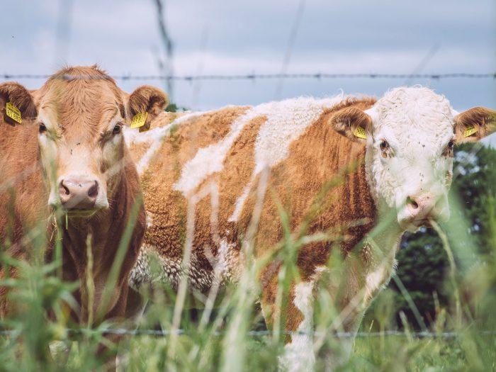 Kühe in Immer (Ganderkesee, Niedersachsen)