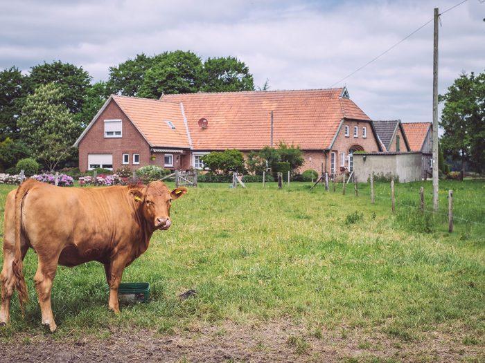 Kuh vor Anwesen in Immer (Ganderkesee, Niedersachsen)
