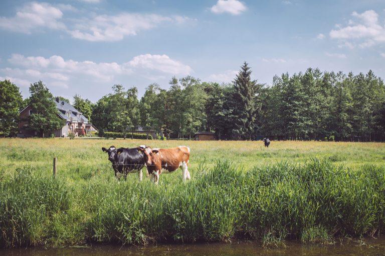 Kühe auf einer Weide in Harrierwurp (Brake, Niedersachsen)