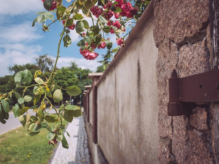 Mauer mit Rose in Burgscheidungen (Burgenlandkreis, Sachsen-Anhalt)