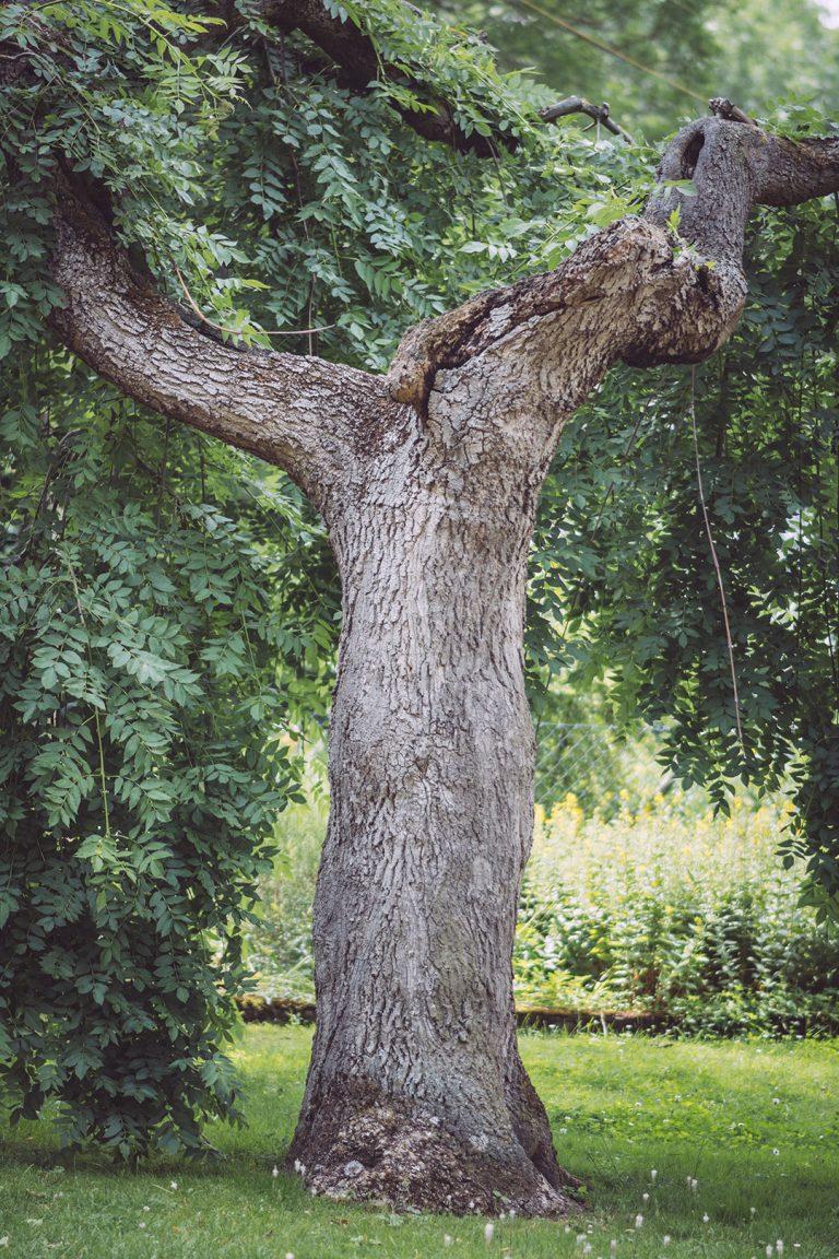 Baum in Kirchscheidungen (Burgenlandkreis, Sachsen-Anhalt)