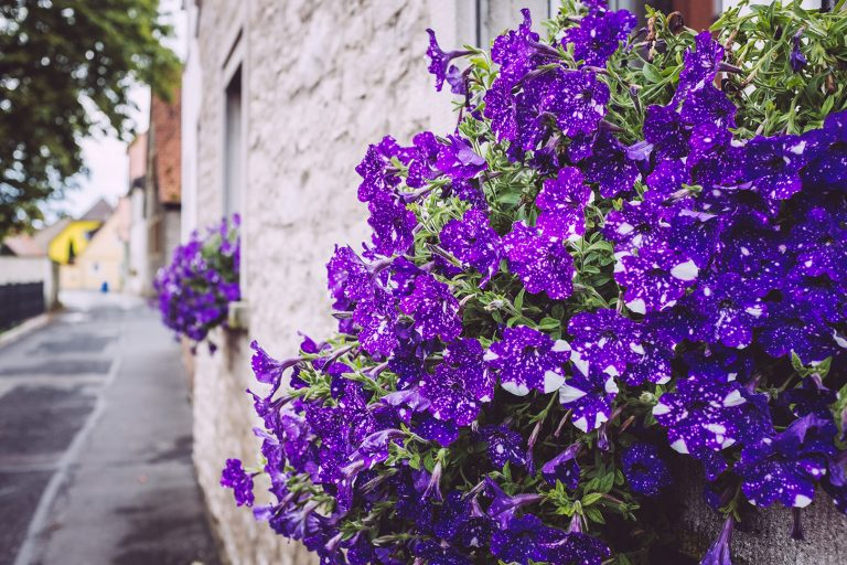 Blumen an Mauer in Mainsondheim (Dettelbach, Bayern)