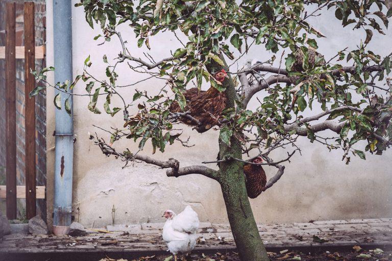 Hühner in Schmatzfeld (Hordharz, Sachsen-Anhalt)