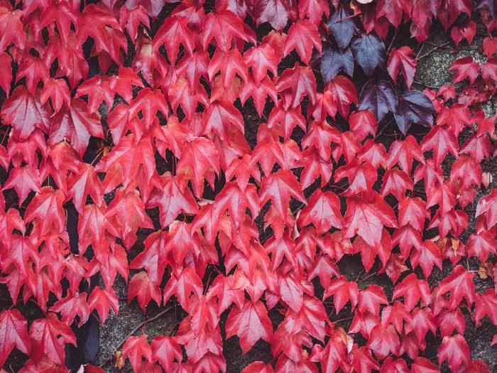 Rote Blätter in Schmatzfeld (Hordharz, Sachsen-Anhalt)