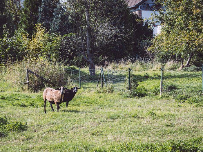 Schafe in Teicha (Petersberg, Sachsen-Anhalt)