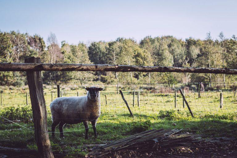Schaf in Düring (Loxstedt, Cuxhaven, Niedersachsen)