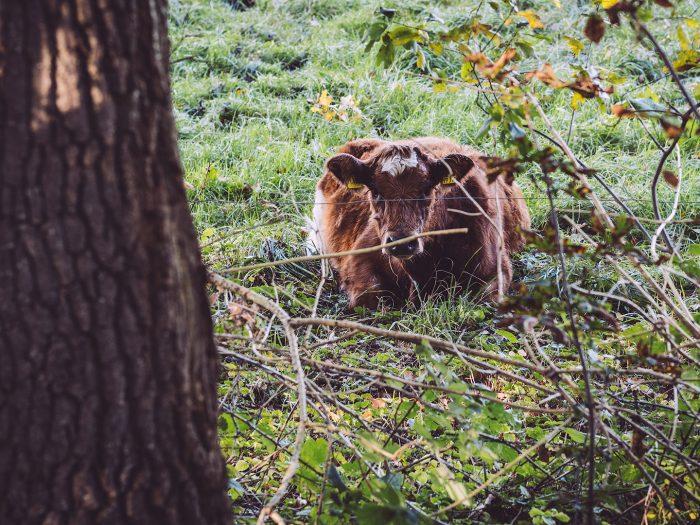 Kuh in Düring (Loxstedt, Cuxhaven, Niedersachsen)