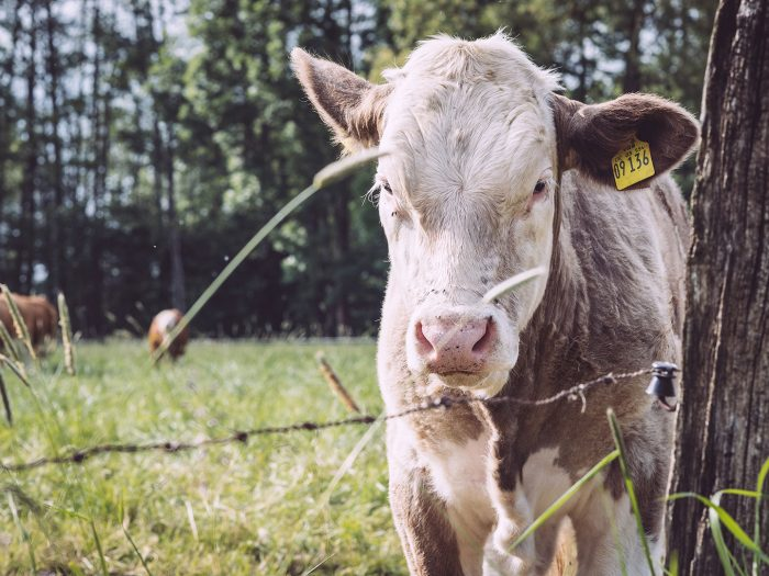 Hellbraune Kuh in Drüber (Northeim, Niedersachsen)