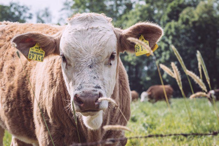 Braune Kuh in Drüber (Northeim, Niedersachsen)