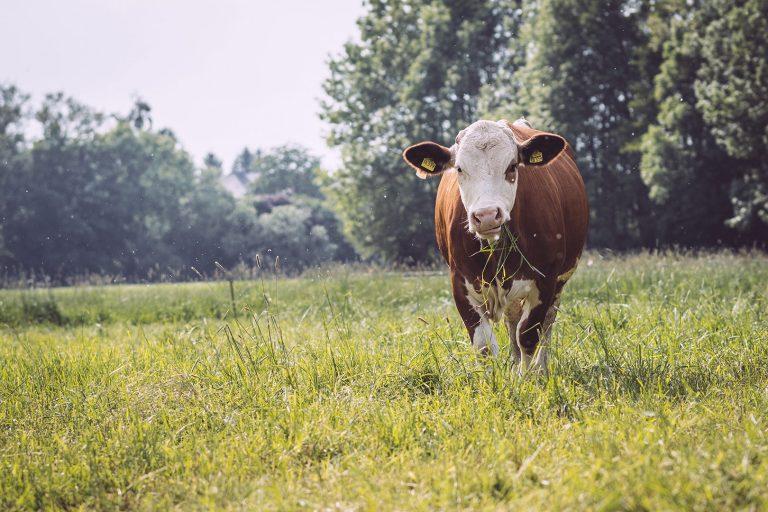 Kuh die Gras frisst in Drüber (Northeim, Niedersachsen)
