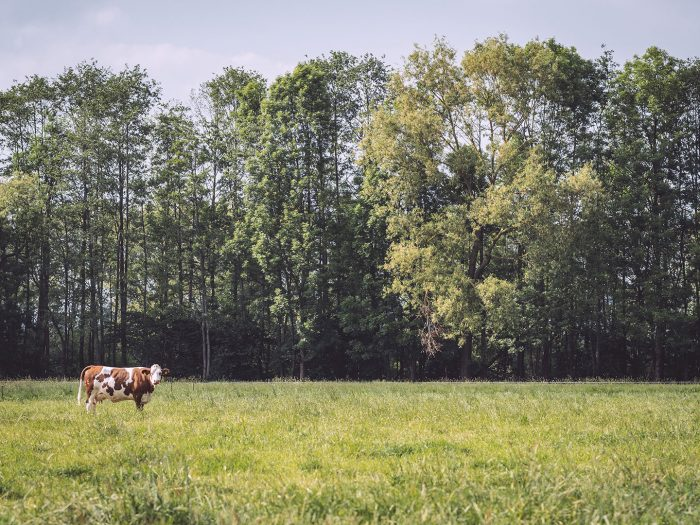 Kuh auf Weide in Drüber (Northeim, Niedersachsen)