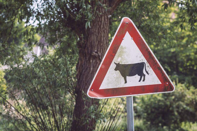 Kuh Verkehrsschild in Drüber (Northeim, Niedersachsen)