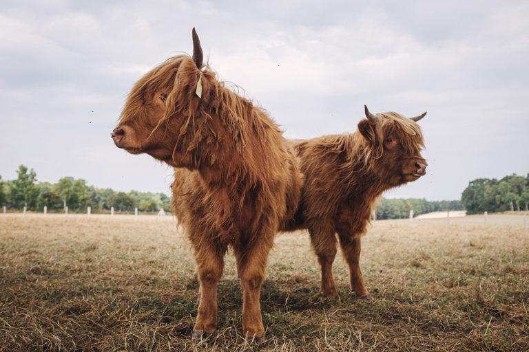 Zwei Hochlandrinder in Kleinenkneten (Wildeshausen, Niedersachsen)