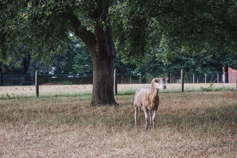 Ziege in Kleinenkneten (Wildeshausen, Niedersachsen)