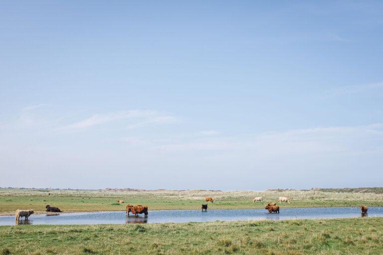 Rinder auf Langeoog (Wittmund, Niedersachsen)