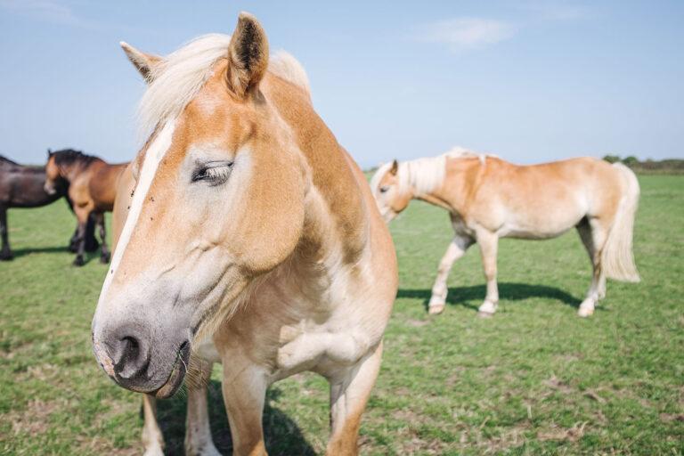 Pferde auf Langeoog (Wittmund, Niedersachsen)